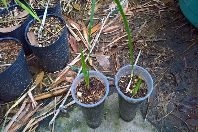 Chăm sóc cây con cho tới khi đủ kích thước đem trồng
