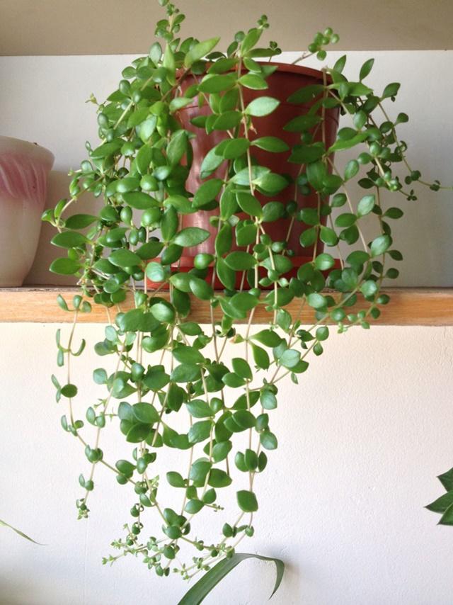 Cây đô la trồng trong chậu nhỏ làm cảnh