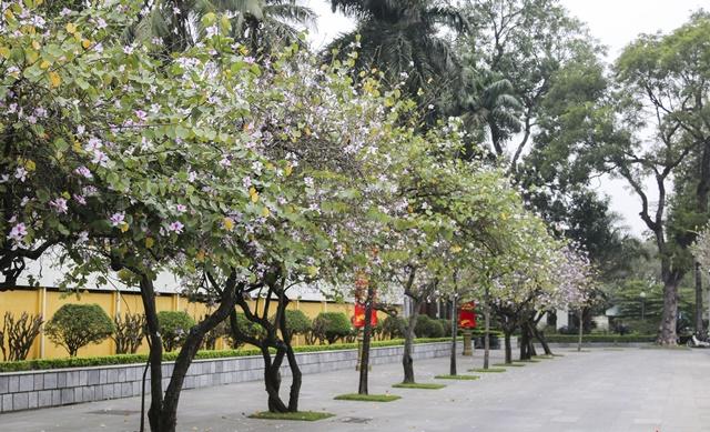Hoa ban được trồng làm cảnh trang trí