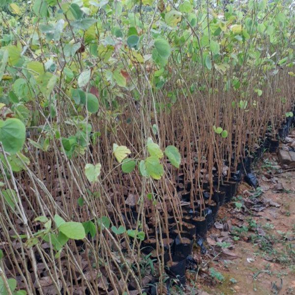 Khi đủ chiều cao, có thể tách bầu trồng ra đất