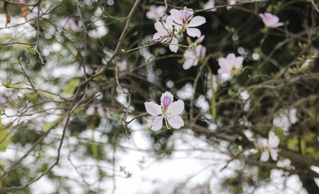 Cây hoa ban có ý nghĩa mang về tài lộc
