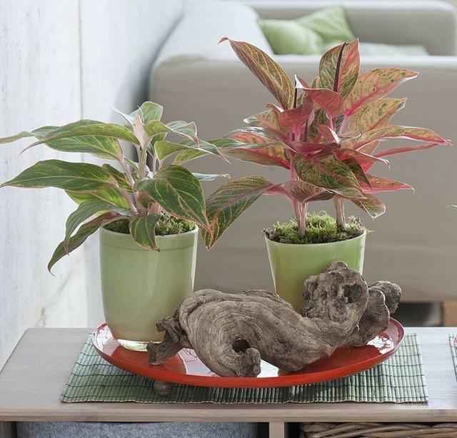 Cây tịnh vượng trồng cảnh trong chậu nhỏ