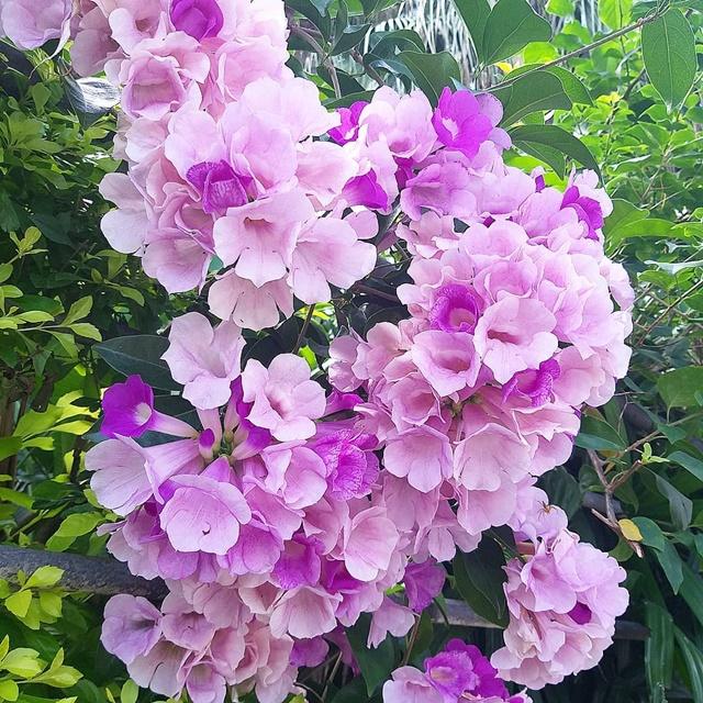 Hoa lan tỏi gắn liền với màu tím thuỷ chung