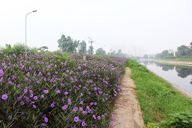 Đảm bảo không gian rộng rãi cho hoa chiều tím