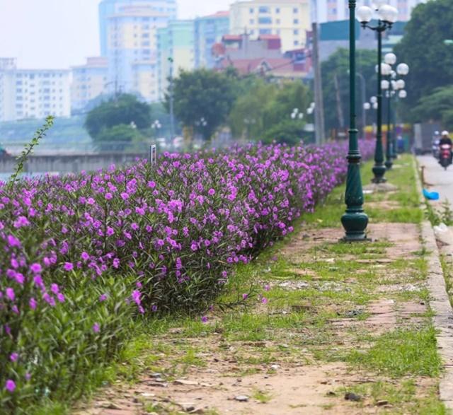 Hoa chiều tím tô điểm không gian vỉa hè