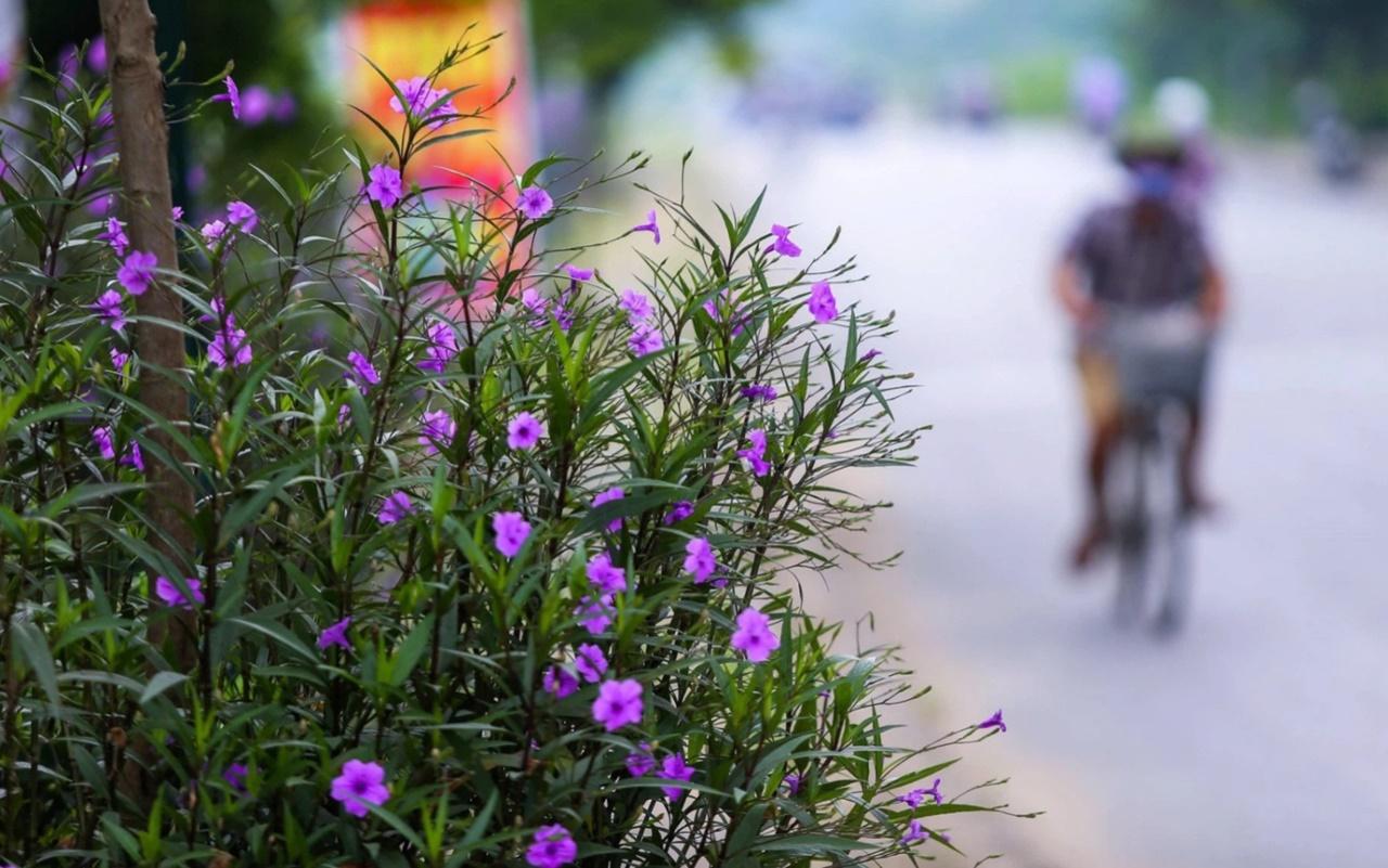 Cây hoa chiều tím