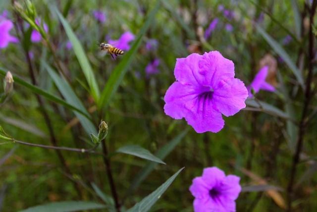 Hoa chiều tím tượng trưng cho tình yêu chung thuỷ