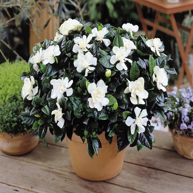 Một chậu hoa dành dành toả sắc rực rỡ
