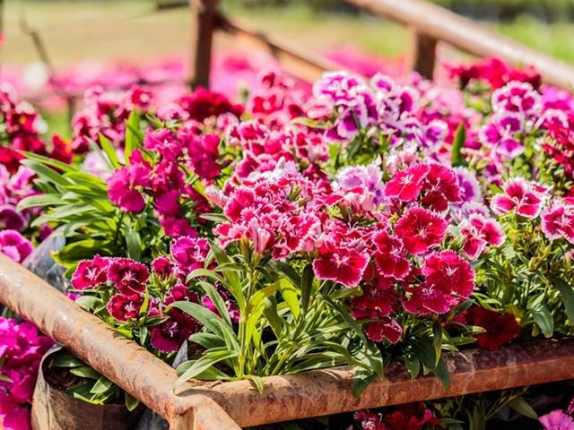 Khóm hoa cẩm chướng khoe sắc