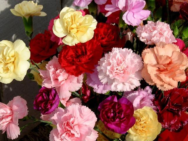 Hoa cẩm chướng rất đa dạng về kiểu dáng và màu sắc