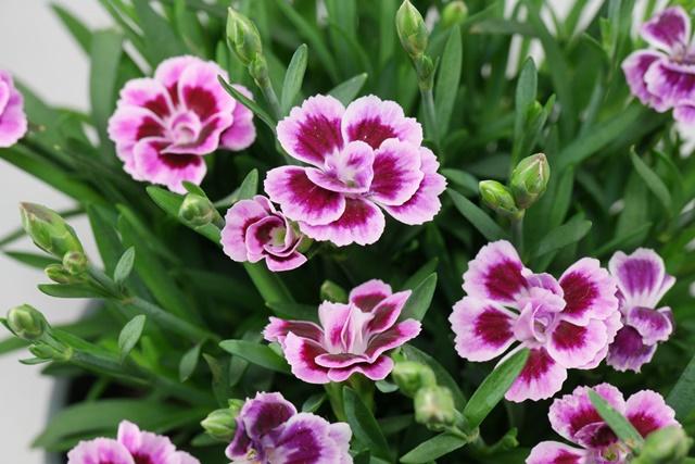 Mỗi màu sắc của hoa lại mang một ý nghĩa khác nhau