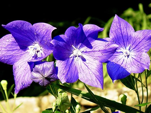 Màu tím của hoa cát cánh tượng trưng cho tình yêu thuỷ chung