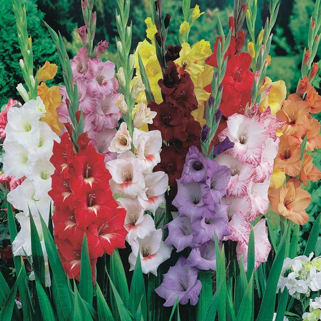 Hoa lay ơn rất đa dạng về màu sắc