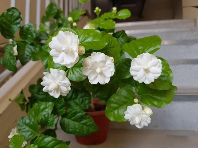 Cây hoa nhài trồng trong chậu cảnh
