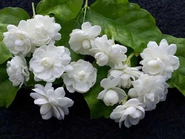 Hoa nhài có màu trắng tinh khôi