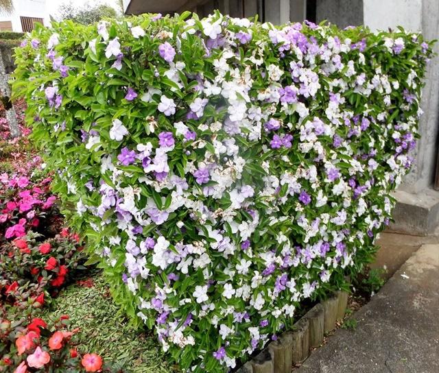 Cây hoa nhài Nhật trang trí vườn nhà