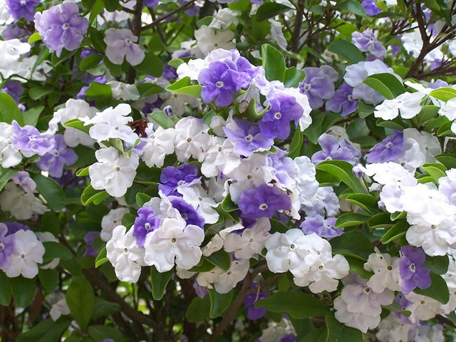 Hoa nhài Nhật là sự kết hợp giữa 2 màu trắng và tím