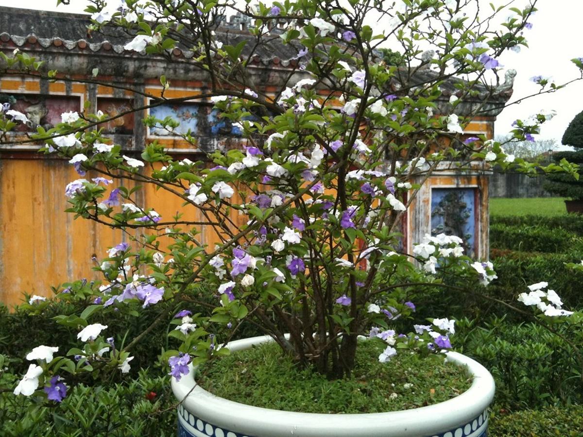 Hoa nhài Nhật
