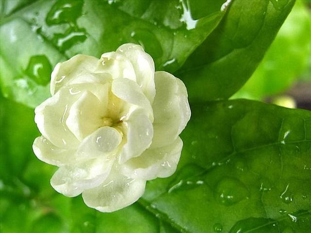 Hoa nhài tượng trưng cho thứ tình cảm trong sáng, thuần khiết
