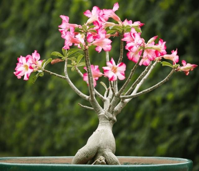Hoa sứ tạo dáng trong chậu cảnh