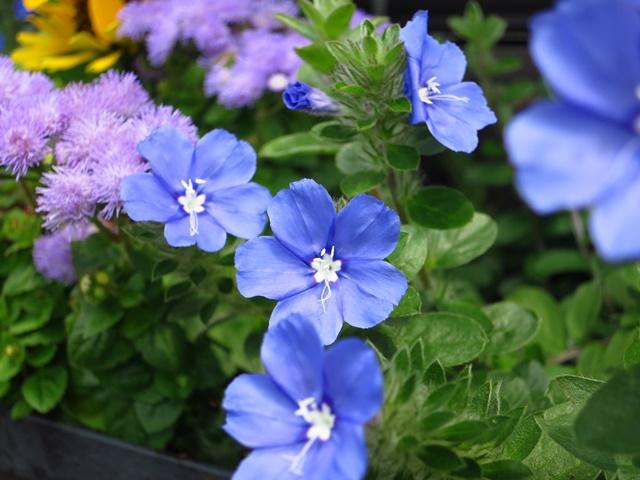 Hoa thanh tú có màu xanh tím đẹp mắt