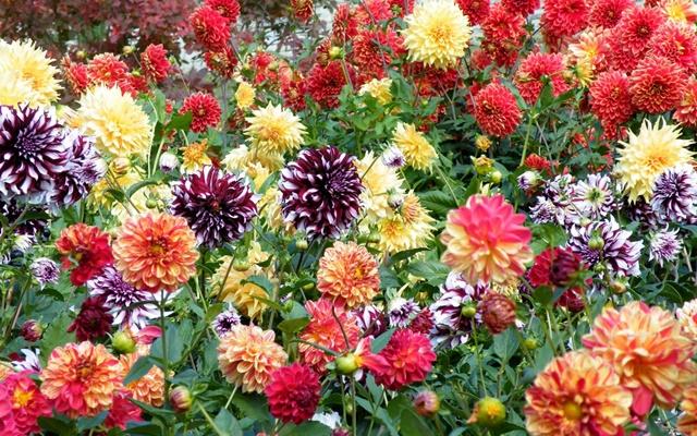 Màu sắc hoa thược dược khá đa dạng