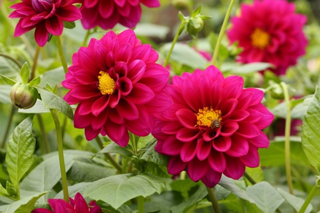 Thược dược là loài hoa mang nhiều ý nghĩa