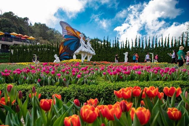 Hoa tulip được trồng nhiều ở các khu du lịch, nghỉ dưỡng