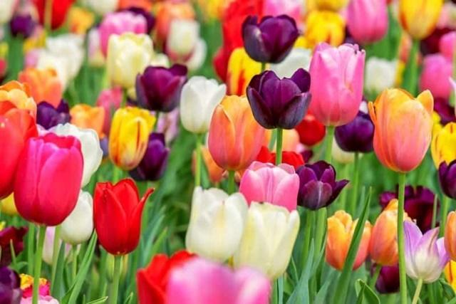 Hoa tulip có màu sắc rất đa dạng