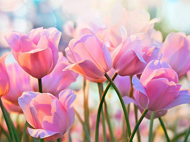 Hoa tulip hồng