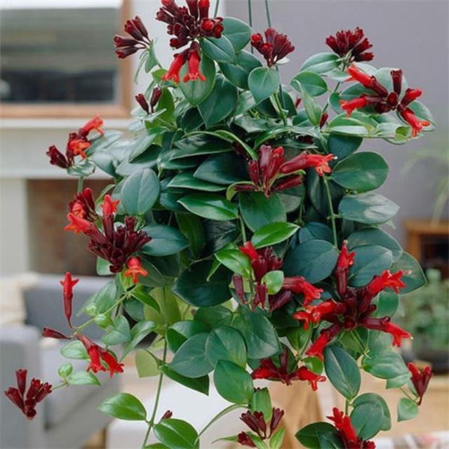 Hoa son môi thường được trồng trong chậu treo