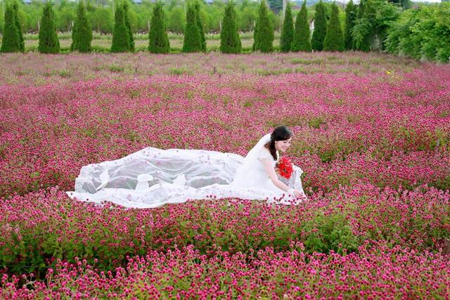 Một vườn hoa bách nhật khoe sắc