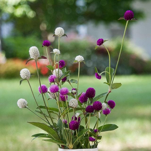 Hoa bách nhật mang ý nghĩa của sự chung thuỷ