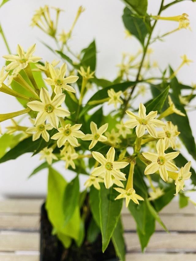 Những ý nghĩa của hoa dạ lý hương đều rất đặc biệt