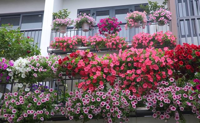 Hoa dạ yến thảo khoe sắc trên ban công