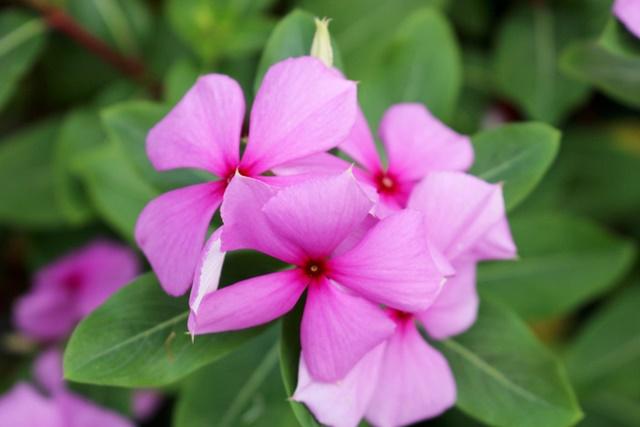 Hoa dừa cạn gồm 5 cáng xoè đều