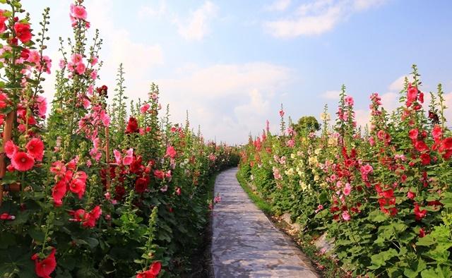 Vườn hoa mãn đình hồng khoe sắc