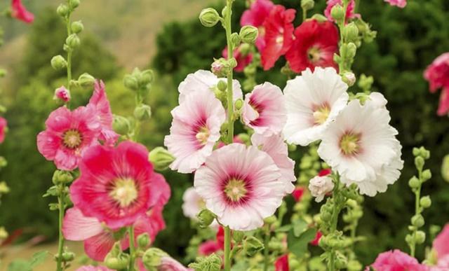 Hoa mang nhiều ý nghĩa tích cực