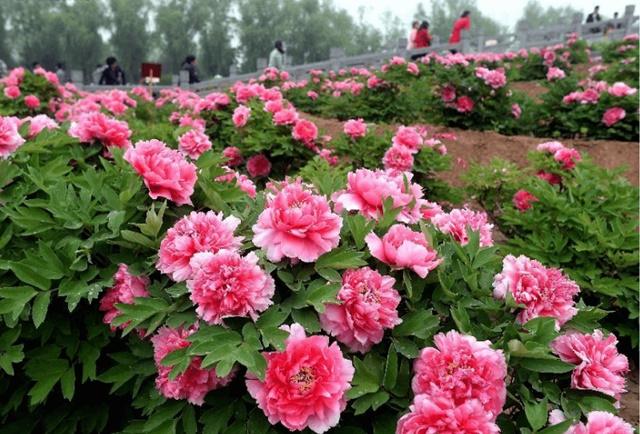 Giâm cành giúp cây nhanh ra hoa