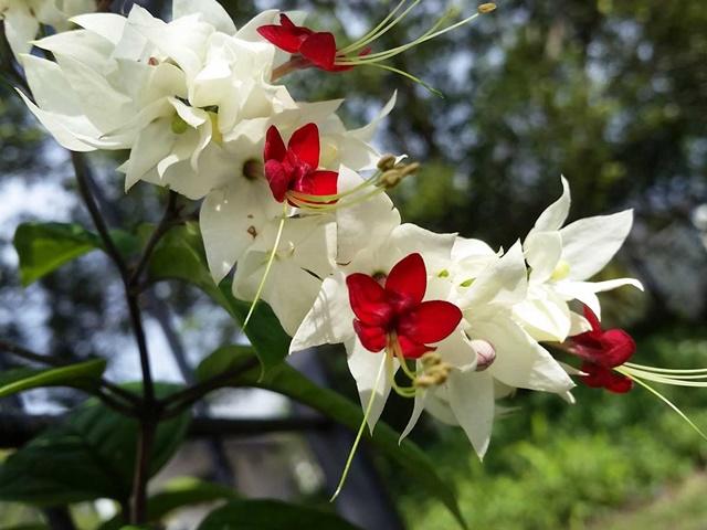 Hoa ngọc nữ tượng trưng cho vẻ đẹp thuần khiết và ước mơ, hoài bão