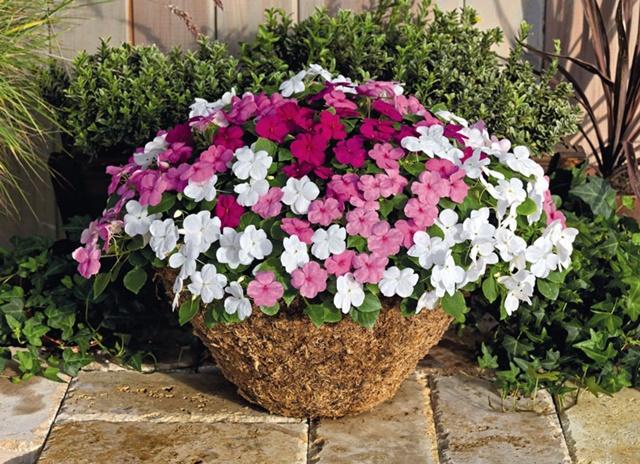 Hoa ngọc thảo mang lại nhiều may mắn