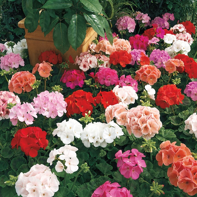 Vẻ đẹp đa dạng của hoa phong lữ