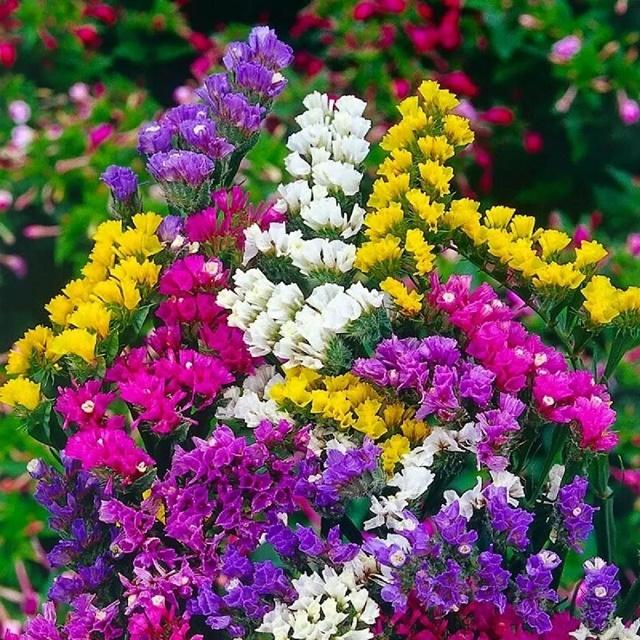 Hoa salem ẩn chứa nhiều ý nghĩa