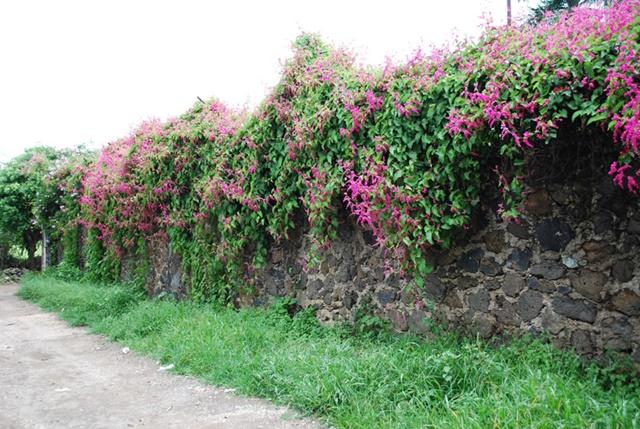 Giàn hoa tigon trang trí tường rào