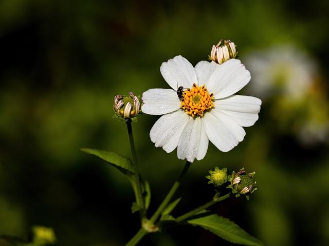Hoa xuyến chi mang vẻ đẹp dịu dàng