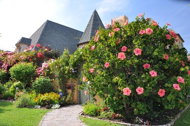 Bụi dâm bụt trồng cảnh dọc tường nhà