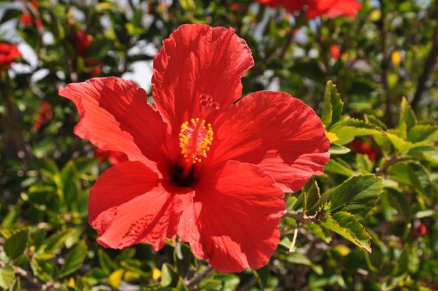 Dâm bụt là loài hoa mang nhiều ý nghĩa