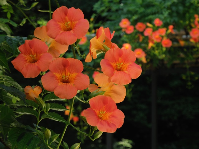 Hoa đăng tiêu mang màu sắc khá tươi sáng