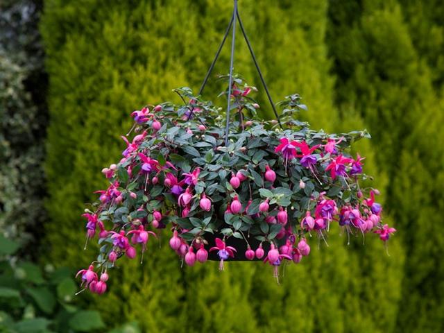 Hoa lồng đèn thường được trồng trong chậu treo