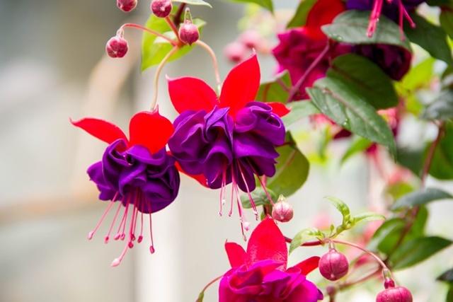 Hoa lồng đèn có hình dáng, màu sắc bắt mắt